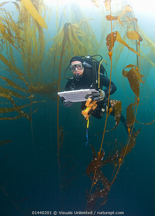 Research diver and marine biologist performing a Rockfish survey off Asilomar, Kelp Forest (Macrocystis pyrifera and Nereocystis), Monterey, California, Pacific Ocean, USA  ,  CONSERVATION,EQUIPMENT,HABITAT,KELP,LEISURE,NORTH AMERICA,PACIFIC OCEAN,PEOPLE,RESEARCH,SCIENTIFIC,SCUBA DIVING,SPORT,STUDYING,SURVEY,USA,VERTICAL,Marine,Plants  ,  Visuals Unlimited