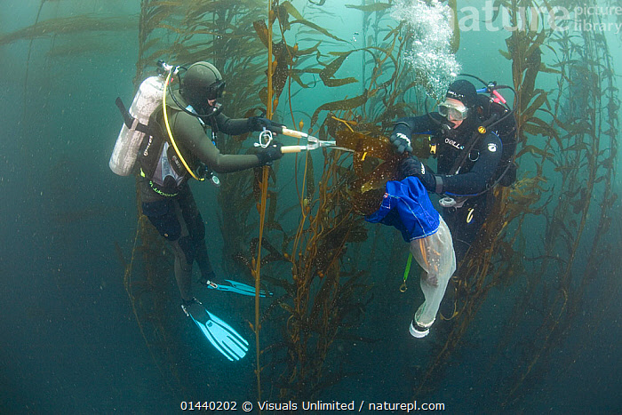Giant Kelp (Macrocystis pyrifera) specimens being collected by research divers and marine biologists as part of survey, Asilomar, Monterey, California, USA.  ,  ALGAE,BIOLOGY,COLLECTING,CONSERVATION,DIVING,EQUIPMENT,HABITAT,KELP,MARINE,NORTH AMERICA,PACIFIC OCEAN,PEOPLE,PLANTS,RESEARCH,SCIENTIFIC,SCUBA DIVING,SEAWEEDS,STUDY,SURVEY,TEMPERATE  ,  Visuals Unlimited