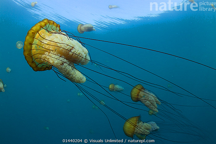 Northern Sea Nettle jellyfish (Chrysaora fuscescens), Carmel Bay, Monterey County, California, USA  ,  ANTHOZOANS,GROUPS,INVERTEBRATES,JELLYFISH,MARINE,NORTH AMERICA,PACIFIC OCEAN,PORTRAITS,PROFILE,SEA,SWARMS,TEMPERATE,UNDERWATER,USA  ,  Visuals Unlimited