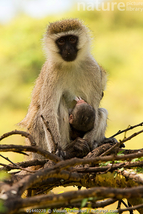 Vervet Monkey (Cercopithecus aethiops) female nursing yearling in tree, Lake Nakuru National Park, Kenya.  ,  AFRICA,BABIES,CERCOPITHECIDAE,CHLOROCEBUS PYGERYTHRUS,EAST AFRICA,FEEDING,FEMALES,GUENONS,MAMMALS,MONKEYS,MOTHER AND YOUNG,NATIONAL PARK,NP,PORTRAITS,PRIMATES,RESERVE,SUCKLING,VERTEBRATES,VERTICAL,YOUNG  ,  Visuals Unlimited