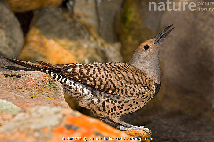 Northern Flicker (Colaptes auratus) female taking a sip of water from pond, USA  ,  BIRDS,DRINKING,FEMALES,NORTH AMERICA,PORTRAITS,PROFILE,USA,VERTEBRATES,WOODPECKERS  ,  Visuals Unlimited