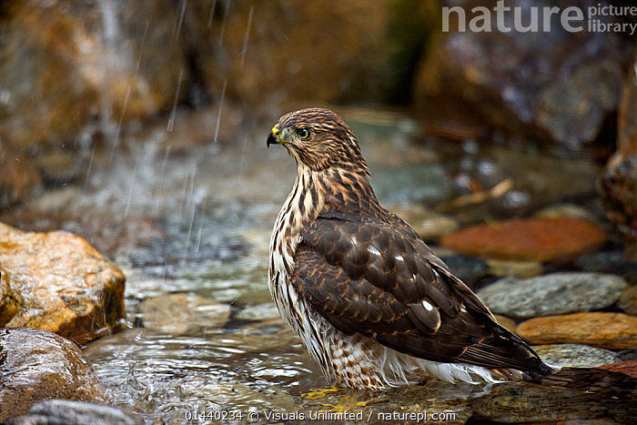 Coopers Hawk (Accipiter cooperii) juvenile bathing in a backyard pool during a light rainfall, Colorado, USA.  ,  BIRDS,BIRDS OF PREY,HAWKS,IMMATURE,JUVENILE,NORTH AMERICA,PLUMAGE,PORTRAITS,PROFILE,RAINING,SUBADULT,USA,VERTEBRATES,YOUNG,Weather  ,  Visuals Unlimited