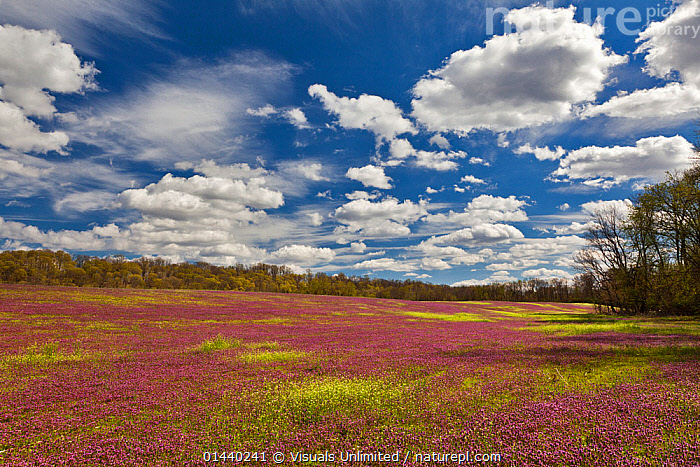Large field of Henbit Flowers in full bloom, Louisville, Kentucky, USA.  ,  CLOUDS,COUNTRYSIDE,FLOWERS,HABITAT,LANDSCAPES,MEADOWLAND,NORTH AMERICA,SKIES,USA,Weather,Grassland  ,  Visuals Unlimited