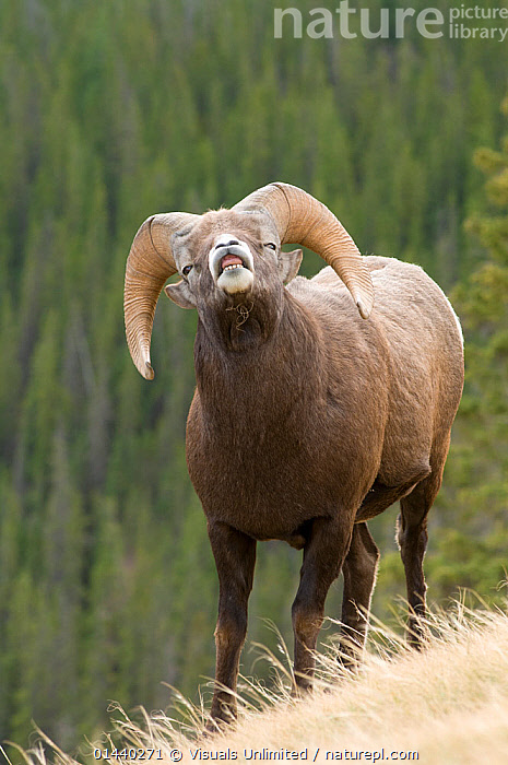 Bighorn Sheep (Ovis canadensis) ram exhibiting flehmen behaviour, Jasper National Park, Alberta, Canada  ,  ARTIODACTYLA,BEHAVIOUR,BOVIDAE,CANADA,COMMUNICATION,MALES,MAMMALS,MATING BEHAVIOUR,NATIONAL PARK,NORTH AMERICA,NP,PORTRAITS,RESERVE,ROCKY MOUNTAINS,SHEEP,SMELLING,TASTING,VERTEBRATES,VERTICAL,Goats,Antelopes,,Canadian Rocky Mountain Parks World Heritage Site, UNESCO World Heritage Site,Rocky Mountains,Rockies,NP,Reserve,  ,  Visuals Unlimited