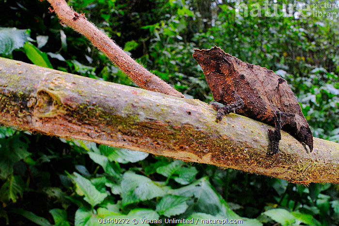 Dwarf Forest Chameleon (Rhampholeon boulengeri), Nyungwe Forest National Park, Rwanda  ,  AFRICA,CENTRAL AFRICA,CHAMELEONS,EAST AFRICA,JUNGLE,LIZARDS,NATIONAL PARK,NP,PROFILE,RAINFOREST,REPTILES,RESERVE,TINY,TROPICAL,TROPICS,VERTEBRATES,,Lizards,,,Lizards,  ,  Visuals Unlimited