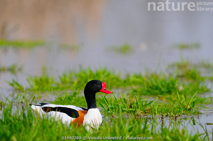 Shelduck (Tadorna tadorna) portrait in water, Italy  ,  ANATIDAE,BIRDS,DRAKE,DUCK,DUCKS,EUROPE,ITALY,MALES,PORTRAITS,PROFILE,VERTEBRATES,WATER,WATERFOWL,WETLANDS  ,  Visuals Unlimited