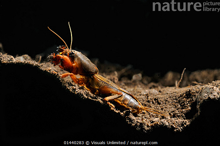 European Mole Cricket (Gryllotalpa gryllotalpa) emerging from its burrow at night, Po Plain, Italy. This species has been introduced into the Eastern USA.  ,  BURROWS,COPYSPACE,EUROPE,GRASSHOPPERS,INSECTS,INVERTEBRATES,ITALY,MOLE CRICKETS,NESTS,NIGHT,NOCTURNAL,ORTHOPTERA,PORTRAITS,PROFILE,UNDERGROUND  ,  Visuals Unlimited