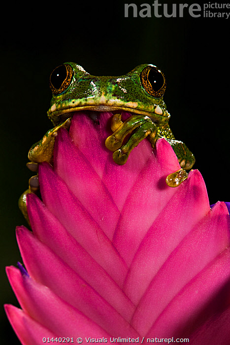 Big Eye Tree Frog (Leptopelis vermiculatus). Captive  ,  AMPHIBIANS,ANURA,BLACK BACKGROUND,CUTOUT,FLOWERS,FROGS,LOOKING AT CAMERA,PORTRAITS,REED FROGS,VERTEBRATES,VERTICAL  ,  Visuals Unlimited