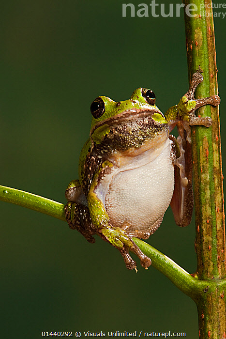 Barking Tree Frog (Hyla gratiosa) Captive  ,  AMPHIBIANS,ANURA,CAPTIVE,COPYSPACE,CUTOUT,FROGS,LOOKING AT CAMERA,PORTRAITS,TREE FROGS,VERTEBRATES,VERTICAL  ,  Visuals Unlimited