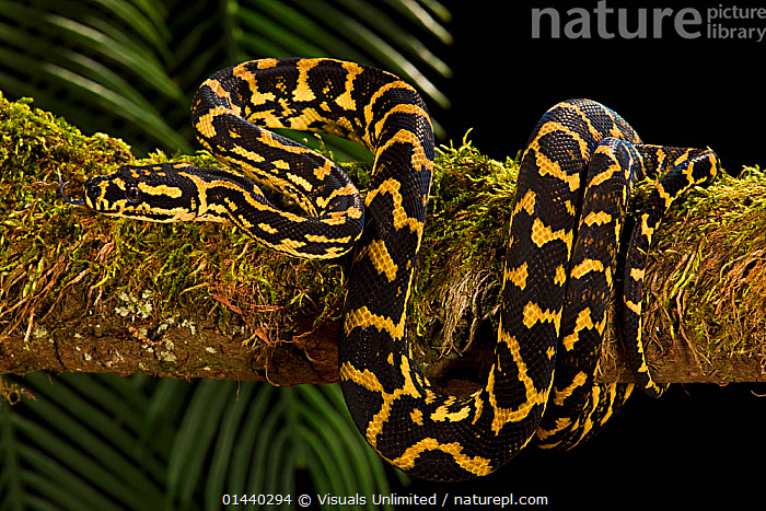 Carpet Python (Morelia spilota variegata) Captive  ,  BLACK BACKGROUND,CAPTIVE,CONSTRICTORS,PATTERNS,PORTRAITS,PROFILE,PYTHONS,REPTILES,SNAKES,VERTEBRATES  ,  Visuals Unlimited