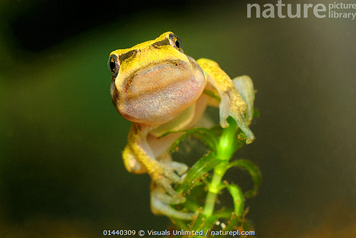 Common Tree frog (Hyla arborea) between the tadpole and frog stages, Switzerland, captive  ,  AMPHIBIANS,ANURA,CAPTIVE,COPYSPACE,CUTOUT,DEVELOPMENT,EUROPE,EUROPEAN,FROGS,METAMORPHOSIS,PORTRAITS,TREE FROGS,VERTEBRATES,Growth  ,  Visuals Unlimited