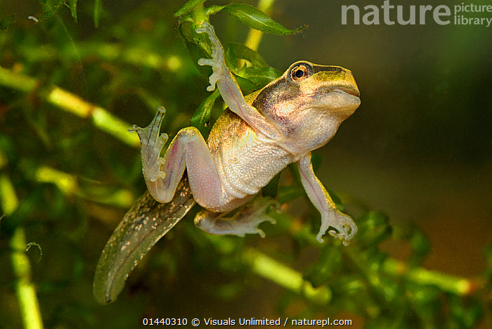 Common Tree frog (Hyla arborea) tadpole maturing into a frog, Switzerland, captive  ,  AMPHIBIANS,ANURA,AQUARIUM,CAPTIVE,DEVELOPMENT,EUROPE,EUROPEAN,FROGS,METAMORPHOSIS,PORTRAITS,PROFILE,TAILS,TREE FROGS,UNDERWATER,VERTEBRATES,Growth  ,  Visuals Unlimited