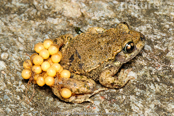 Midwife Toad (Alytes obstetricans) male carrying eggs on back, Switzerland  ,  AMPHIBIANS,ANURA,BEHAVIOUR,BREEDING,CARRYING,EGGS,EUROPE,MALES,MIDWIFE TOADS,PARENTAL,PORTRAITS,REPRODUCTION,TOADS,VERTEBRATES  ,  Visuals Unlimited
