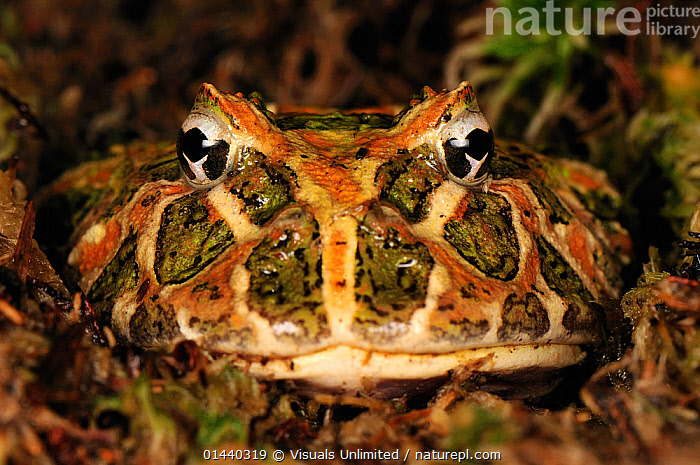 Ornate Horned Frog (Ceratophrys ornata) head portrait, Argentina  ,  AMPHIBIANS,ANURA,FACES,FROGS,HEADS,LEPTODACTYLID FROGS,LOOKING AT CAMERA,PORTRAITS,SOUTH AMERICA,TROPICAL,TROPICS,VERTEBRATES  ,  Visuals Unlimited