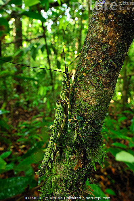 Stick insect (Phasmatodea) camouflaged on tree trunk, Tanjung Puting National Park, Kalimantan, Borneo, Indonesia  ,  ARTHROPODS,ASIA,BORNEO,CAMOUFLAGE,HABITAT,INSECTS,INVERTEBRATES,KALIMANTAN,NATIONAL PARK,NP,PHASMIDA,PHASMIDS,RAINFOREST,RESERVE,SOUTH EAST ASIA,TREES,TROPICAL,TROPICS,VERTICAL,PLANTS  ,  Visuals Unlimited