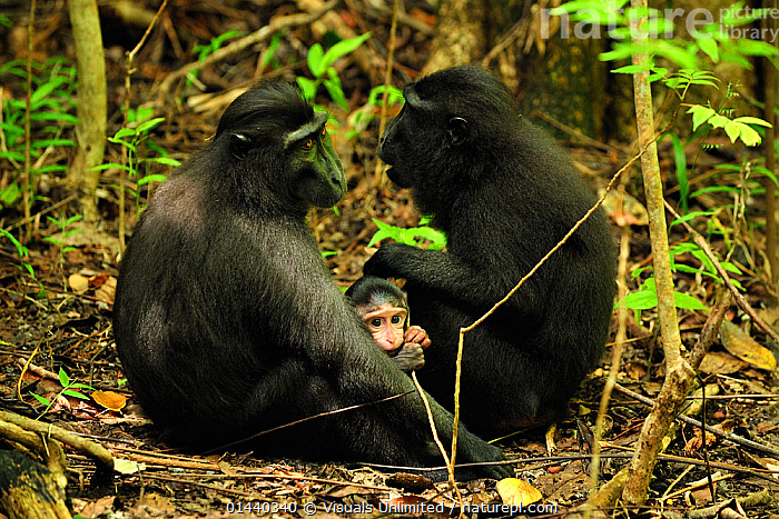 Celebes Crested Macaques (Macaca nigra) adults with baby, Tangkoko Nature Reserve, North Sulawesi, Indonesia  ,  ASIA,BABIES,BLACK CRESTED MACAQUE,BONDING,CERCOPITHECIDAE,CLEANING,CRITICALLY ENDANGERED,ENDANGERED,FEMALES,GROOMING,GROUPS,INDONESIA,INTERACTION,JUVENILE,MACAQUES,MAMMALS,MONKEYS,PRIMATES,PROFILE,RESERVE,SITTING,SOCIAL BEHAVIOUR,SOUTH EAST ASIA,SULAWESI,TROPICAL,TROPICS,VERTEBRATES,YOUNG  ,  Visuals Unlimited