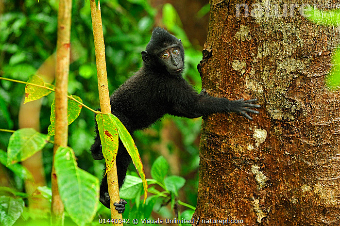 Celebes Crested Macaque (Macaca nigra) juvenile next to tree, Tangkoko Nature Reserve, North Sulawesi, Indonesia  ,  ASIA,BABIES,BLACK CRESTED MACAQUE,CERCOPITHECIDAE,CRITICALLY ENDANGERED,CUTE,ENDANGERED,INDONESIA,JUVENILE,MACAQUES,MAMMALS,MONKEYS,PORTRAITS,PRIMATES,PROFILE,RESERVE,SOUTH EAST ASIA,SULAWESI,TREES,TROPICAL,TROPICS,VERTEBRATES,YOUNG,PLANTS  ,  Visuals Unlimited