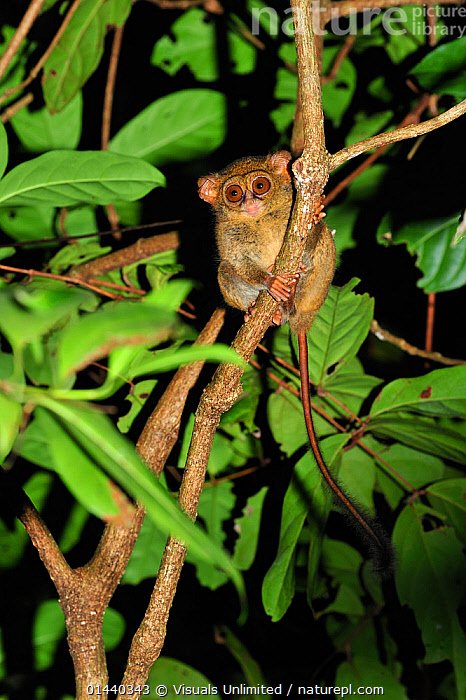 Spectral Tarsier (Tarsius spectrum) at night in tree, Tangkoko Nature Reserve, North Sulawesi, Indonesia  ,  ASIA,ENDANGERED,FLASH,INDONESIA,MAMMALS,NIGHT,NOCTURNAL,PRIMATES,RESERVE,SOUTH EAST ASIA,SULAWESI,TARSIERS,TARSIIDAE,TARSIUS SPECTRUM,TREES,TROPICAL,TROPICS,VERTEBRATES,VERTICAL,VULNERABLE,PLANTS  ,  Visuals Unlimited