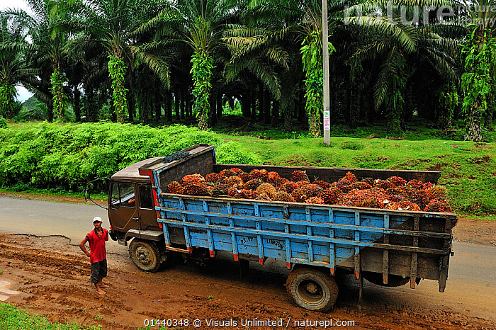 Truck with Oil Palm fruits in an Oil Palm plantation, Bukit Lawang, Northern Sumatra, Indonesia  ,  ASIA,DEFORESTATION,ENVIRONMENTAL,EXPORT,INDONESIA,INDUSTRY,PALM OIL,PEOPLE,PLANTATIONS,ROADS,SOUTH EAST ASIA,TRADE,TRUCKS,VEHICLES  ,  Visuals Unlimited