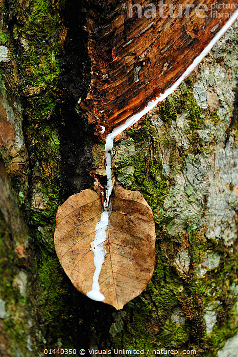 Rubber tree tapping (Hevea brasiliensis), Bukit Lawang, Northern Sumatra, Indonesia  ,  ASIA,DICOTYLEDONS,EUPHORBIACEAE,EXPORT,INDONESIA,PLANTATIONS,PLANTS,RESOURCES,RUBBER,SOUTH EAST ASIA,TRADE,TREES,TROPICS,VERTICAL  ,  Visuals Unlimited
