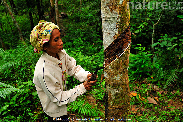 Worker incising a Rubber Tree to collect latex (Hevea brasiliensis), Bukit Lawang, Northern Sumatra, Indonesia  ,  ASIA,COLLECTING,CUTTING,DICOTYLEDONS,EUPHORBIACEAE,EXPORT,MONOCULTURE,PEOPLE,PLANTATIONS,PLANTS,PROFILE,RUBBER,SOUTH EAST ASIA,TRADE,TROPICS,WORKING  ,  Visuals Unlimited
