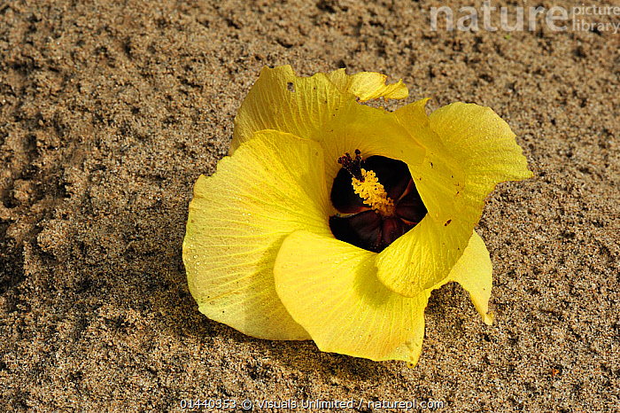 Beach or Sea Hibiscus flower on sand (Hibiscus tiliaceus), Gunung Leuser National Park, Northern Sumatra, Indonesia. This species has been introduced in warm climates.  ,  ASIA,DICOTYLEDONS,FLOWERS,INDONESIA,MALVACEAE,NATIONAL PARK,NP,PLANTS,RESERVE,SOUTH EAST ASIA,TROPICAL,TROPICS  ,  Visuals Unlimited