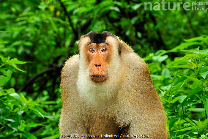 Pig-tailed Macaque (Macaca nemestrina), Gunung Leuser National Park, Northern Sumatra, Indonesia  ,  ASIA,CERCOPITHECIDAE,ENDANGERED,INDONESIA,LOOKING AT CAMERA,MACAQUES,MALES,MAMMALS,MONKEYS,NATIONAL PARK,NP,PIGTAIL,PIGTAILED,PORTRAITS,PRIMATES,RESERVE,SOUTH EAST ASIA,TROPICAL,TROPICS,VERTEBRATES  ,  Visuals Unlimited