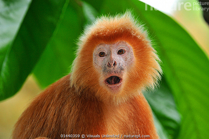 Ebony Langur or Javan Lutung (Trachypithecus auratus), orange colour form, Java, Indonesia  ,  ASIA,CALLING,COMMUNICATION,ENDANGERED,FACES,HEADS,INDONESIA,LANGURS,LEAF MONKEY,MAMMALS,MONKEYS,PORTRAITS,PRIMATES,SOUTH EAST ASIA,TROPICAL,TROPICS,VOCALISATION,VULNERABLE  ,  Visuals Unlimited