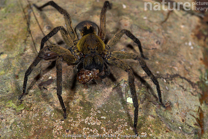 Wolf Spider (Lycosidae), feeding on cricket prey, Manu, Peru  ,  UNCATALOGUED,Animal,Wildlife,Arthropod,Arachnid,Spider,Wolf spider,Animalia,Animal,Wildlife,Chelicerata,Arthropod,Chelicerate,Arthropoda,Arachnida,Arachnid,Aranae,Spider,Lycosidae,Wolf spider,Latin America,South America,Peru,Animal Behaviour,Feeding,Predation,Behaviour,Invertebrate,  ,  Robert Pickett