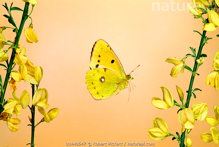 Clouded Yellow Butterfly male (Colias croceus) in flight flying over Broom flowers, UK  ,  UNCATALOGUED,Animal,Wildlife,Arthropod,Insect,Butterfly,Clouded yellow,Animalia,Animal,Wildlife,Hexapoda,Arthropod,Invertebrate,Hexapod,Arthropoda,Insecta,Insect,Lepidoptera,Lepidopterans,Pieridae,Butterfly,Papilionoidea,Colias,Clouded yellow,Sulphur,Colias crocea,Dark clouded yellow,Common clouded yellow,Colias croceus,Papilio croceus,Papilio edusa,Flying,Europe,Western Europe,UK,  ,  Robert Pickett
