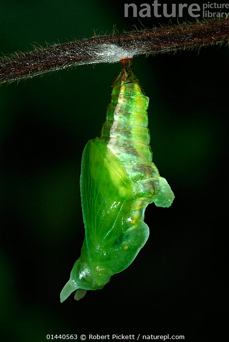 White Admiral Butterfly  (Ladoga camilla) pupa developing, UK. Sequence 4 of 19.  ,  UNCATALOGUED,Animal,Wildlife,Arthropod,Insect,Brushfooted butterfly,Admiral,White admiral,Animalia,Animal,Wildlife,Hexapoda,Arthropod,Invertebrate,Hexapod,Arthropoda,Insecta,Insect,Lepidoptera,Lepidopterans,Nymphalidae,Brushfooted butterfly,Fourfooted butterfly,Nymphalid,Butterfly,Papilionoidea,Limenitis,Admiral,Limenitis camilla,White admiral,Eurasian white admiral,Ladoga camilla,Europe,Western Europe,UK,Pupae,Lifecycles,Lifecycle,Life cycle,Life cycles,Developing countries,Development,Metamorphosis,  ,  Robert Pickett