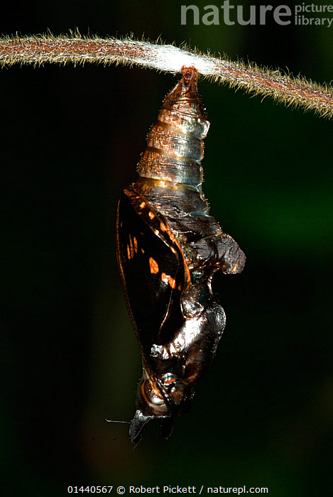 White Admiral Butterfly adult emerging from pupa (Ladoga camilla), UK. Sequence 8 of 19.  ,  UNCATALOGUED,Animal,Wildlife,Arthropod,Insect,Brushfooted butterfly,Admiral,White admiral,Animalia,Animal,Wildlife,Hexapoda,Arthropod,Invertebrate,Hexapod,Arthropoda,Insecta,Insect,Lepidoptera,Lepidopterans,Nymphalidae,Brushfooted butterfly,Fourfooted butterfly,Nymphalid,Butterfly,Papilionoidea,Limenitis,Admiral,Limenitis camilla,White admiral,Eurasian white admiral,Ladoga camilla,Emergence,Europe,Western Europe,UK,Pupae,Lifecycles,Lifecycle,Life cycle,Life cycles,Developing countries,Development,Metamorphosis,  ,  Robert Pickett