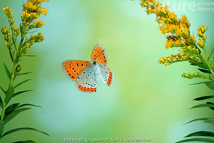Large Copper Butterfly (Lycaena dispar) in flight through Goldenrod flowers. Captive special breeding group for release into the wild, extinct in the  UK.  ,  UNCATALOGUED,Animal,Wildlife,Arthropod,Insect,Gossamer winged butterfly,Large copper,Animalia,Animal,Wildlife,Hexapoda,Arthropod,Invertebrate,Hexapod,Arthropoda,Insecta,Insect,Lepidoptera,Lepidopterans,Lycaenidae,Gossamer winged butterfly,Lycaenid,Butterfly,Papilionoidea,Lycaena,Lycaena dispar,Large copper,Papilio dispar,Chrysophanus batavus,Papilio rutilus,Flying,Europe,Western Europe,UK,  ,  Robert Pickett