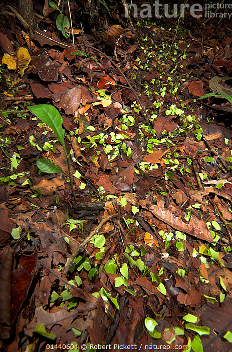 Leaf Cutter Ants (Atta cephalotes) on trail in rainforest taking leaves back to nest, Iquitos, Peru  ,  UNCATALOGUED,Animal,Wildlife,Arthropod,Insect,Ant,Leafcutter ant,Animalia,Animal,Wildlife,Hexapoda,Arthropod,Invertebrate,Hexapod,Arthropoda,Insecta,Insect,Hymenoptera,Hymenopterans,Formicidae,Ant,Atta,Leafcutter ant,Leaf cutter ant,Fungus growing ant,Atta cephalotes,Formica cephalotes,Oecodoma cephalotes,Latin America,South America,Peru,  ,  Robert Pickett