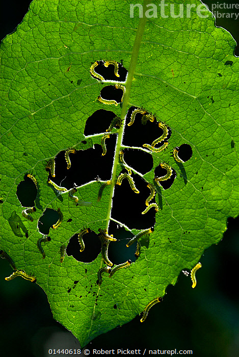 Sawfly larvae (Nematus caprese) feeding on Goat Willow leaves, Kent, UK  ,  UNCATALOGUED,Animal,Wildlife,Arthropod,Insect,Sawfly,Animalia,Animal,Wildlife,Hexapoda,Arthropod,Invertebrate,Hexapod,Arthropoda,Insecta,Insect,Hymenoptera,Hymenopterans,Tenthredinidae,Sawfly,Symphyta,Nematus,Europe,Western Europe,UK,Plant,Leaf,Foliage,Nematus caprese,  ,  Robert Pickett