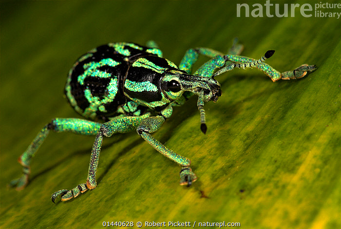 Weevil (Eupholus browni) Captive, occurs in Papua New Guinea.  ,  UNCATALOGUED,Animal,Wildlife,Arthropod,Insect,Beetle,Weevil,Animalia,Animal,Wildlife,Hexapoda,Arthropod,Invertebrate,Hexapod,Arthropoda,Insecta,Insect,Coleoptera,Beetle,Endopterygota,Neoptera,Curculionoidae,Weevil,True weevil,Snout beetle,Cuculionoidea,Polyphaga,Oceania,Melanesia,New Guinea,Papua New Guinea,Portrait,Eupholus,Eupholus browni,  ,  Robert Pickett