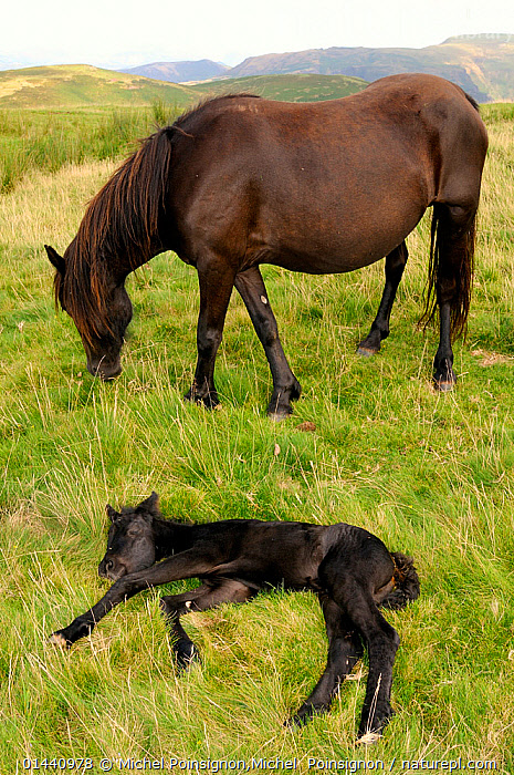Merens horse (Equus caballus) mare with resting foal, Pyrenees mountains, France, August.  ,  BABIES,ENDANGERED,Equidae,EUROPE,FEMALES,Foals,FRANCE,HORSES,MAMMALS,MOTHER,MOTHER BABY,MOUNTAINS,PERISSODACTYLA,semi feral,VERTEBRATES,YOUNG,catalogue6,EQUUS CABALLUS,Equus ferus caballus,Equus caballus,Resting,Rest,Protection,Colour,Brown,Two,No One,Nobody,Animal,Young Animal,Juvenile,Babies,Baby Mammal,Baby Mammals,Foal,Foals,Female animal,Mare,Mares,Cultivated Land,Fields,Outdoors,Open Air,Outside,Day,Animal Behaviour,Feeding,Grazing,Playing,Domestic animal,Domestic Horse,Behaviour,Domestic animals,Young,Farmland,Domesticated,Play,Playful,Equus ferus caballus,Equus caballus,Horse,Baby,Two animals,Communication  ,  Michel Poinsignon,Michel  Poinsignon