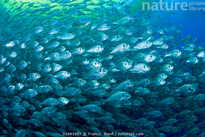 Thousand of Gilt-head bream (Sparus aurata) inside a sea cage used for aquaculture, Ponza Island, Italy, Tyrrhenian Sea, Mediterranean, catalogue6,Animal,Vertebrate,Ray finned fish,Percomorphi,Sea bream,Gilthead seabream,Animalia,Animal,Wildlife,Vertebrate,Chordate,Actinopterygii,Ray finned fish,Osteichthyes,Bony fish,Fish,Perciformes,Percomorphi,Acanthopteri,Sparidae,Sea bream,Porgy,Sparus,Sparus auratus,Gilthead seabream,Pagrus auratus,Chyrsophrys auratus,Auratus auratus,Direction,Mood,Eerie,On The Move,Trapped,Lost,Colour,Blue,Turquoise,Aqua,Aqua Blue,Torquoise,School,Many,Group,Large Group,No One,Nobody,Dense,Europe,Southern Europe,South Europe,Italy,Mediterranean Sea,Tyrrhenian Sea,Fishing Industries,Marine,Underwater,Temperate,Saltwater,Sea,Mediterranean Basin,Mediterranean,Biodiveristy hotspot,Biodiversity hotspots,Fisheries,Fishery,Aquaculture,Aquafarming,Multitude,Mass,Safety in Numbers,Moving, Franco  Banfi
