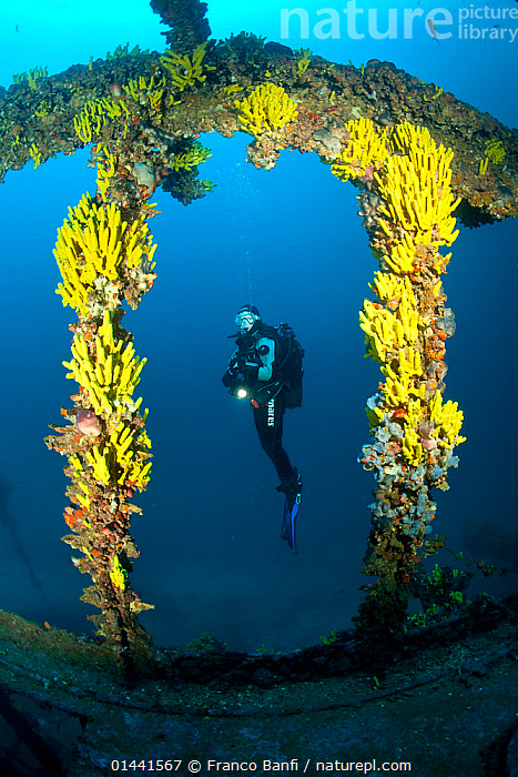 Scuba diver and yellow sponges (Aplysina cavernicola) on Brioni Steamship wreck, Vis Island, Croatia, Adriatic Sea, Mediterranean. Model released., catalogue6,Animal,Sponge,Tube sponges,Animalia,Animal,Wildlife,Porifera,Sponge,Demospongiae,Verongida,Aplysinidae,Aplysina,Tube sponges,Diving,Leisure,Underwater Diving,Scuba Diving,People,Male,Man,Only Men,One Man,Unrecognizable Person,Unrecognisable People,Unrecognisable Person,Unrecognised People,Unrecognised Person,Unrecognizable People,Unrecognized People,Unrecognized Person,Bizarre,Colour,Yellow,1 Person,Single,Single Person,Wreck,Wreckage,Shipwreck,Europe,Southern Europe,South Europe,Croatia,Full Length,Full Lengths,Whole,Side View,Man Made,Lighting,Electric Light,Flashlight,Flashlights,Torch,Torches,Building,Arch,Arches,Archs,Archway,Archways,Vaulted,Boat,Boats,Motorboats,Powerboats,Mediterranean Sea,Adriatic Sea,Adriatic,Religion,Marine,Underwater,Temperate,Motorboat,Saltwater,Sea,Mediterranean Basin,Mediterranean,Biodiveristy hotspot,Biodiversity hotspots,Discovery,Direct Gaze,View Through,Vis Island,Brioni Steamship,Invertebrate,Inverebrates, Franco  Banfi