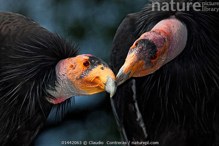 California condors (Gymnnogyps californicus) interacting. Captive. Endangered species., high1314,Animal,Vertebrate,Bird,Birds,New world vulture,Condor,Californian condor,Animalia,Animal,Wildlife,Vertebrate,Aves,Bird,Birds,Accipitriformes,Cathartidae,New world vulture,Gymnogyps,Condor,Gymnogyps californianus,Californian condor,Touching,Touch,Colour,Black,Yellow,Two,Nobody,Affectionate,Affection,Horizontal,Close Up,Beak,Beaks,Outdoors,Open Air,Outside,Day,Communication,Communicating,Nature,Natural,Natural World,Endangered Species,Threatened,Captivity,Animal Behaviour,Behaviour,Two animals,Yellow Colour,Endangered species,threatened,Endangered, Claudio  Contreras