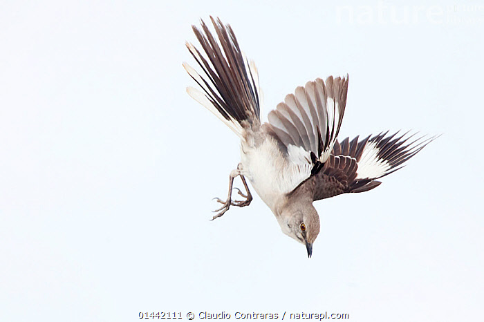 Northern mockingbird (Mimus polyglottos) in courtship display, San Quintin, Baja California Peninsula, Mexico,, catalogue6,Animal,Vertebrate,Birds,Songbird,Thrasher,Typical mockingbird,Northern mockingbird,Animalia,Animal,Wildlife,Vertebrate,Chordate,Aves,Birds,Passeriformes,Songbird,Passerine,Mimidae,Thrasher,Mimid,Mimus,Typical mockingbird,Nesomimus,Mimus polyglottos,Northern mockingbird,Common mockingbird,Diving,Flying,Soaring,Courting,Determination,Focus,Direction,Energetic,Dynamic,Dynamism,On The Move,No One,Nobody,Americas,Latin America,Central America,Mexico,Copy Space,Cutout,Plain Background,White Background,Horizontal,Close Up,Side View,Wing,Wings,Outdoors,Open Air,Outside,Day,Animal Behaviour,Mating Behaviour,Courtship,Display,Behaviour,Displaying,Flight,Wings spread,Wingspan,Negative space,Moving,Energy,Focused,Baja California Peninsula,San Quintin,Communication, Claudio Contreras