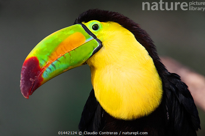 Keel billed toucan (Ramphastos sulfuratus), captive.  ,  ANIMALIA,ANIMAL,WILDLIFE,VERTEBRATE,CHORDATE,AVES,BIRDS,PICIFORMES,RAMPHASTIDAE,TOUCAN,RAMPHASTOS,RAMPHASTOS SULFURATUS,KEEL BILLED TOUCAN,RAINBOW BILLED TOUCAN,SULPHUR BREASTED TOUCAN,1 ANIMAL,FULL FRAME,FULL FRAMES,PROFILE,PROFILE VIEW,PROFILES,HORIZONTAL,PORTRAIT,PORTRAITS,BODY PART ,ANATOMY,ANIMAL ANATOMY,ANIMAL BODY PARTS,BEAK,BEAKS,ANIMAL,VERTEBRATE,BIRDS,TOUCAN,KEEL BILLED TOUCAN  ,  Claudio Contreras