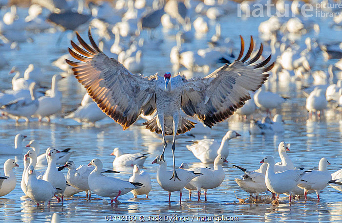 Sandhill crane (Grus canadensis) landing in icy pond filled with snow geese  (Chen caerulescens) Bosque del Apache, New Mexico.  January 2013, America,Bosque del Apache,Grus canadensis,National Wildlife Refuge,New Mexico,North America,North American,USA,United States,animal,animals,behavior,behaviour,bird,birds,geese,goose,migrating,migration,nature,sandhill crane,wildlife,catalogue6,Animal,Vertebrate,Birds,Crane,Sandhill crane,Water fowl,Waterfowl,True goose,Snow goose,Animalia,Animal,Wildlife,Vertebrate,Chordate,Aves,Birds,Gruiformes,Gruidae,Crane,Grus,Grus canadensis,Sandhill crane,Little brown crane,Canadian crane,Anseriformes,Water fowl,Galloanserans,Waterfowl,Anatidae,Chen,True goose,Goose,Anserini,Anserinae,Chen caerulescens,Snow goose,Anser caerulescens,Ignoring,Ignore,Flying,Soaring,Landing,Concentrate,Concentrated,Concentrating,Concentration,Balance,Contrasts,Out Of Context,Flocking,Flocks,Many,Group,Large Group,No One,Nobody,Temperature,Cold,Chill,Chilly,Americas,Latin America,Central America,Mexico,North America,USA,Western USA,Southwest US,New Mexico,Camera Focus,Selective Focus,Focus On Foreground,Focus On Foregrounds,Wing,Wings,Ice,Outdoors,Open Air,Outside,Season,Seasons,Winter,Day,Freshwater,Wetland,Pond,Flight,Wings spread,Wingspan,Shallow depth of field,Low depth of field,Bosque del Apache,Wildfowl,Goose,Geese, Jack Dykinga