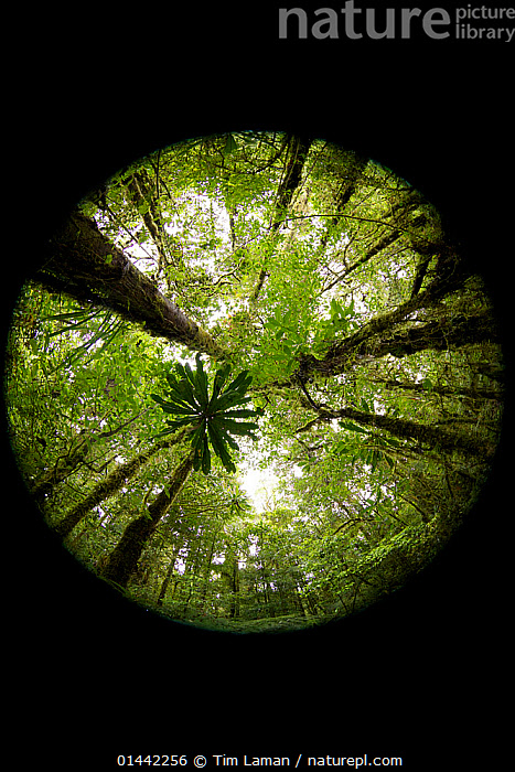Rainforest interior views, looking up., catalogue6,Growth,Grow,Growing,Grows,No One,Nobody,Shape,Shapes,Circle,Circles,Circling,Circular,Round,Oceania,Melanesia,New Guinea,Papua New Guinea,Vertical,Low Angle View,Unusual Angle,Plant,Leaf,Foliage,Tree Trunk,Tree,Tree Canopy,Tree Canopies,Outdoors,Open Air,Outside,Day,Nature,Natural,Natural World,Woodland,Rainforest,Forest,Possibility,Framed Image,Concepts, Tim Laman