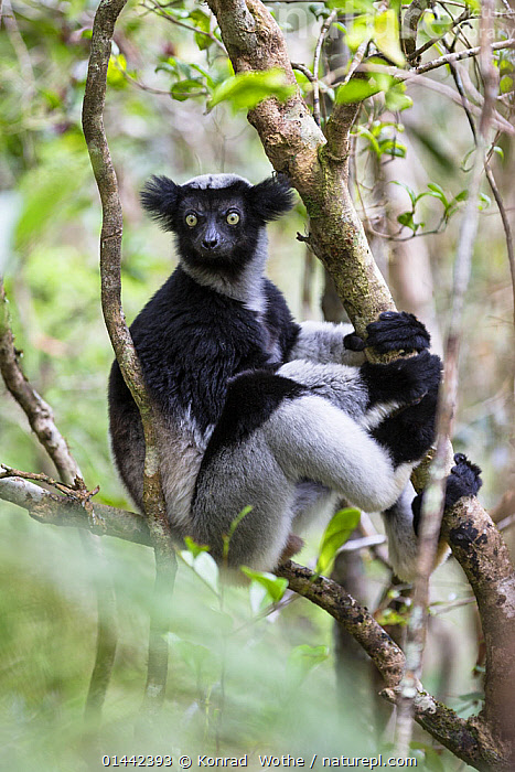 Indri (Indri indri) portrait, in rainforest tree, Andasibe Mantadia National Park, East-Madagascar, Africa, Animalia,Animal,Wildlife,Vertebrate,Chordate,Mammalia,Mammal,Primate,Primates,Indriidae,Prosimians,Indri,Indris,Indri indri,Babakoto,Lemur indri,Indri brevicaudatus,Indri niger,Indris ater,Lichanotus mitratus,Indris variegatus,Africa,Southern Africa,Madagascar,Malagasy Republic,Republic of Madagascar,Vertical,Portrait,Portraits,Plants,Vegetation,Plant Part,Tree Trunk,Tree Trunks,Tree,Trees,Forest,Rainforest,Tropical rainforest,Climbing,Brachiation,Climb,Climbs,Biodiversity hotspots,Biodiversity hotspot,Animal,Vertebrate,Mammal,Indri,Endangered species,threatened,Endangered,Mammals, Konrad  Wothe