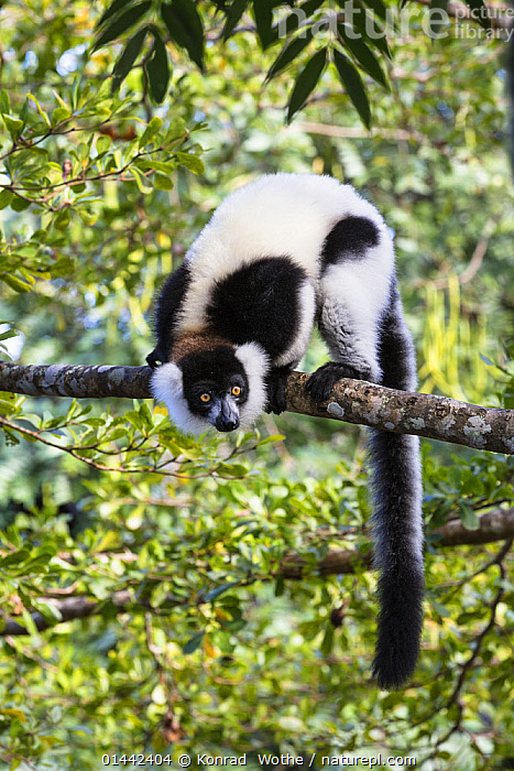 Black and white ruffed Lemur (Varecia variegata) on branch, East Madagascar, Africa, Animalia,Animal,Wildlife,Vertebrate,Chordate,Mammalia,Mammal,Primate,Primates,Lemuridae,Lemur,Prosimians,Varecia,Ruffed lemurs,Varecia variegata,Black and white Ruffed Lemur,Ruffed Lemur,Africa,Southern Africa,Madagascar,Malagasy Republic,Republic of Madagascar,Vertical,Portrait,Portraits,Plants,Vegetation,Tree,Trees,Biodiversity hotspots,Biodiversity hotspot,Animal,Vertebrate,Mammal,Lemur,Ruffed lemurs,Black and white Ruffed Lemur,Mammals, Konrad  Wothe