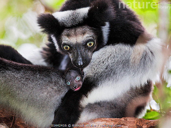 Indri (Indri indri) grooming baby in rainforest, East-Madagascar, Africa, high1314,Animal,Vertebrate,Mammal,Indri,Animalia,Animal,Wildlife,Vertebrate,Mammalia,Mammal,Primate,Primates,Indriidae,Prosimians,Indri,Indris,Indri indri,Babakoto,Lemur indri,Indri brevicaudatus,Indri niger,Indris ater,Lichanotus mitratus,Indris variegatus,Grooming,Preen,Preens,Surprise,Bizarre,Weird,Black,Two,Nobody,Size,Small,Little,Tiny,Africa,Southern Africa,Madagascar,Malagasy Republic,Republic of Madagascar,Horizontal,Close Up,Front View,View From Front,Portrait,Young Animal,Juvenile,Babies,Female animal,Animal Eye,Animal Eyes,Eye,Eyes,Hair,Fur,Outdoors,Open Air,Outside,Day,Nature,Natural,Natural World,Wild,Rainforest,Animal Behaviour,Parental behaviour,Forest,Family,Mother baby,Behaviour,Mother-baby,mother,Biodiversity hotspots,Biodiversity hotspot,Parental,Two animals,Parent baby,Animal Hair,Endangered species,threatened,Endangered, Konrad  Wothe