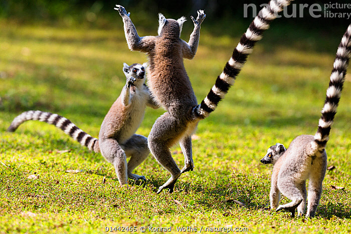 Ringtailed Lemurs playing (Lemur catta) Nahampoana Reserve, South Madagascar, Africa, high1314,Animal,Vertebrate,Mammal,Lemur,Ring-tailed lemur,Animalia,Animal,Wildlife,Vertebrate,Mammalia,Mammal,Primate,Primates,Lemuridae,Lemur,Prosimians,Lemur catta,Ring-tailed lemur,Maki mococo,Gesturing,Arms Raised,Jumping,Playing,Standing,Bully,Bullies,Bullying,Face To Face,Face Each Other,Facing Each Other,Few,Three,Group,Nobody,Pattern,Patterned,Patterns,Stripes,Africa,Southern Africa,Madagascar,Malagasy Republic,Republic of Madagascar,Horizontal,Plant,Grass Family,Grass,Grasses,Tail,Outdoors,Open Air,Outside,Day,Nature,Natural,Natural World,Wild,Animal Behaviour,Behaviour,Biodiversity hotspots,Biodiversity hotspot,Play,Playful,Standing on hind legs,Three Animals,Messing About,Nahampoana Reserve, Konrad  Wothe