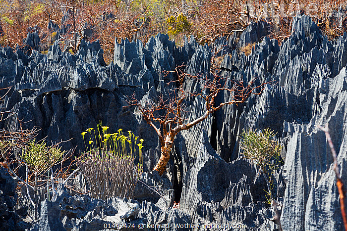Rock formation with vegetaition in the Tsingy-de-Bemaraha National Park, Mahajanga, Madagascar, Africa, catalogue6,Colour,Grey,Gray,No One,Nobody,Jagged,Craggy,Rugged,Africa,Southern Africa,Madagascar,Malagasy Republic,Republic of Madagascar,Horizontal,Rock Formations,Outdoors,Open Air,Outside,Day,Reserve,Geology,Biodiversity hotspots,Biodiversity hotspot,Protected area,National Park,Vegetation,Tsingy de Bemaraha,Mahajanga, Konrad  Wothe
