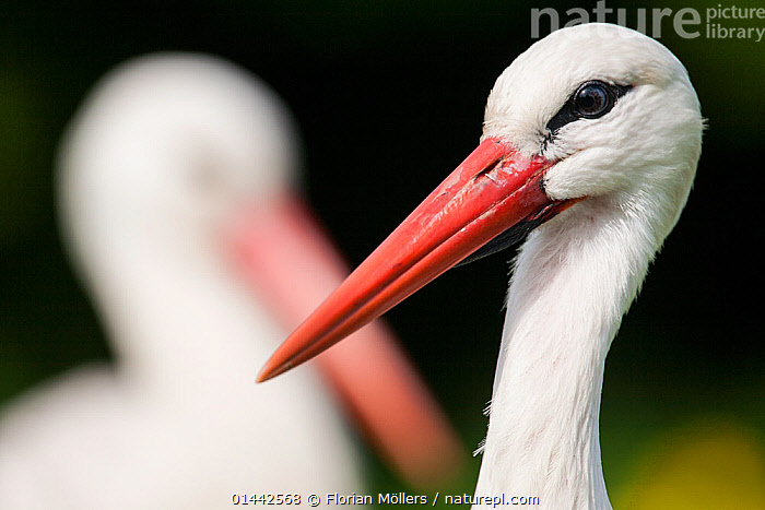 White stork (Ciconia ciconia) adult portrait, captive, Vogelpark Marlow, Germany, May., Baby,Ciconia ciconia,Deutschland,Frühling,Germany,Klapperstorch,Legende,Lithuania national bird,Mai,Marlow,May,Mecklenburg Eastern Pomerania,Mecklenburg Vorpommern,Schnabel,Vogel,Vogelpark,Weißstorch,White stork,Wiesenvogel,beak,bird,bird park,captive,enclosure,extensive used meadows,habitat restoration,meadow,meadow bird,red,rot,spring,symbol,catalogue6,Animal,Vertebrate,Birds,Stork,White stork,Animalia,Animal,Wildlife,Vertebrate,Chordate,Aves,Birds,Ciconiiformes,Ciconiidae,Stork,Ciconia,Ciconia ciconia,White stork,European white stork,Ignoring,Ignore,Alertness,Alert,Colour,White,Two,No One,Nobody,Europe,Western Europe,Germany,Profile,Horizontal,Close Up,Side View,Portrait,Camera Focus,Selective Focus,Focus On Foreground,Focus On Foregrounds,Animal Eye,Animal Eyes,Eye,Eyes,Beak,Beaks,Outdoors,Open Air,Outside,Day,Human Relationships,Human Relationship,Relationship Difficulties,Separating,Two animals,Shallow depth of field,Low depth of field,White colour, Florian Möllers